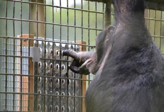 chimps-solve-puzzle