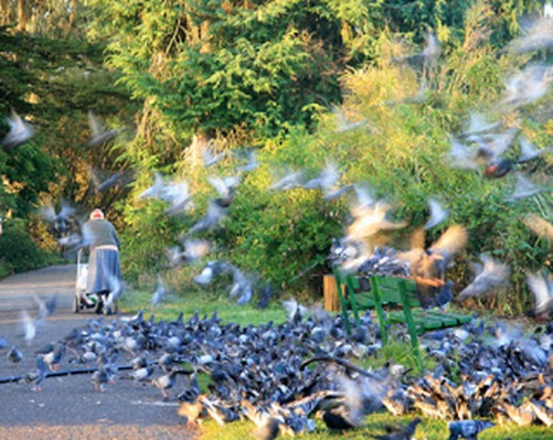 Feeding_pigeons_1